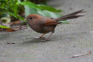 Vinous-throated Parrotbill - Sinosuthora webbiana
