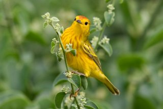 American Yellow Warbler - Setophaga aestiva