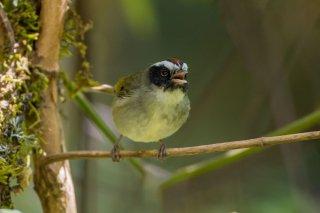 Black-cheeked Warbler - Basileuterus melanogenys
