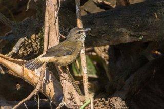 Buff-rumped Warbler - Myiothlypis fulvicauda
