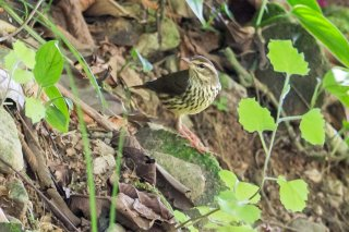 Northern Waterthrush - Parkesia noveboracensis