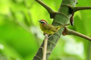 Rufous-capped Warbler - Basileuterus rufifrons