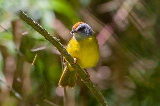 Russet-crowned Warbler - Myiothlypis coronata