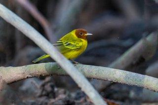 Yellow Mangrove Warbler - Setophaga petechia