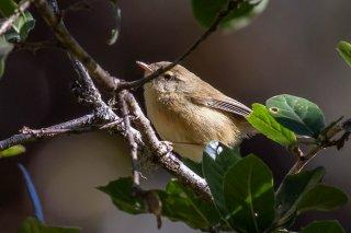 Aberrant Bush Warbler - Horornis flavolivaceus