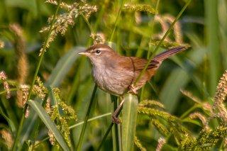 Cetti's Warbler - Cettia cetti