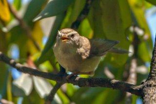 Chestnut-crowned Bush Warbler - Cettia major