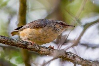 Long-billed Crombec - Sylvietta rufescens