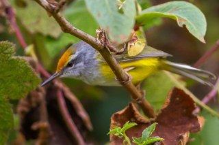 Mountain Tailorbird - Phyllergates cucullatus