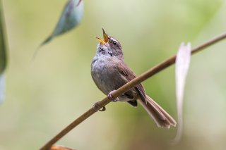 Sunda Bush Warbler - Horornis vulcanius