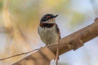 Brown-throated Wattle-eye - Platysteira cyanea