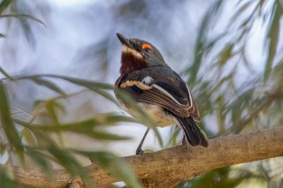 Brown-throated Wattle-eye (f) - Platysteira cyanea