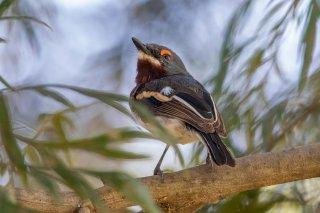 Brown-throated Wattle-eye (f) - Platysteira cyanea