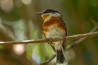 Cape Batis (f) - Batis capensis