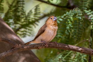 African Silverbill - Euodice cantans