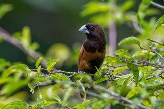Chestnut Munia - Lonchura atricapilla