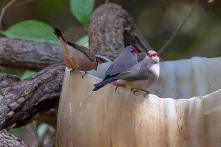 Common Waxbill - Estrilda astrild