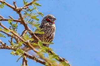 Cut-throat Finch - Amadina fasciata