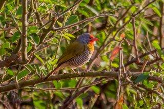 Green-winged Pytilia - Pytilia melba
