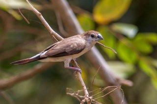 Indian Silverbill - Euodice malabarica