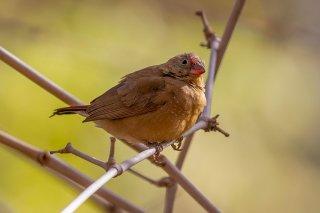 Red-billed Firefinch (f) - Lagonosticta senegala