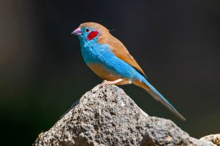 Red-cheeked Cordon-bleu - Uraeginthus bengalus