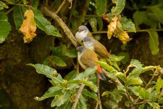 Yellow-bellied Waxbill - Coccopygia quartinia