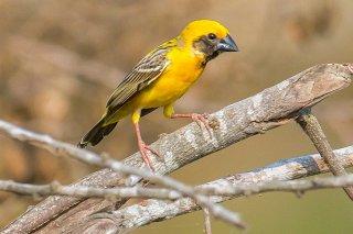 Asian Golden Weaver - Ploceus hypoxanthus
