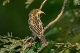 Baya Weaver (f) - Ploceus philippinus