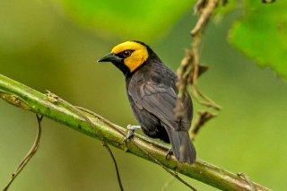 Black-billed Weaver - Ploceus melanogaster