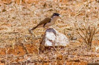 Black-capped Social Weaver - Pseudonigrita cabanisi