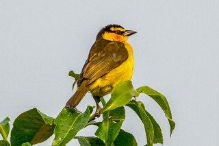 Black-necked Weaver (f) - Ploceus nigricollis