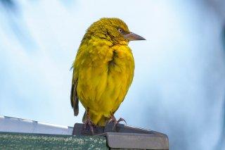Cape Weaver - Ploceus capensis