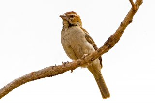 Chestnut-crowned Sparrow-Weaver - Plocepasser superciliosus