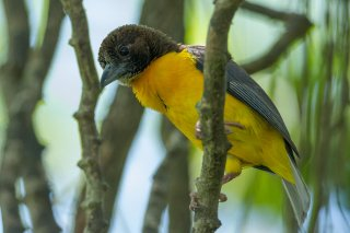 Dark-backed Weaver - Ploceus bicolor