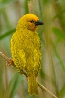 Eastern Golden Weaver - Ploceus subaureus
