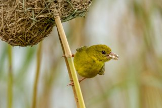 Eastern Golden Weaver (f) - Ploceus subaureus