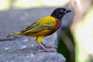 Golden-backed Weaver - Ploceus jacksoni