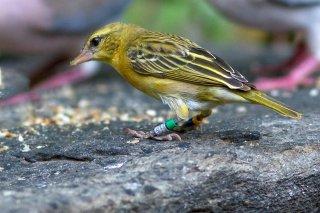 Golden-backed Weaver (f) - Ploceus jacksoni
