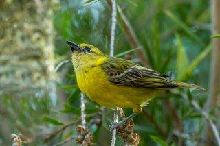 Lesser Masked Weaver - Ploceus intermedius