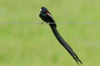 Long-tailed Widowbird - Euplectes progne