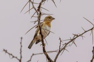 Northern Masked Weaver (f) - Ploceus taeniopterus