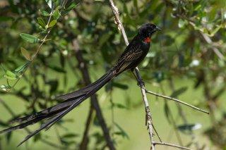 Red-collared Widowbird - Euplectes ardens