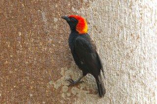 Red-headed Malimbe - Malimbus rubricollis