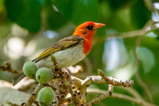 Red-headed Weaver - Anaplectes rubriceps
