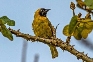Slender-billed Weaver - Ploceus pelzelni