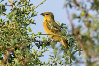 Southern Brown-throated Weaver (f) - Ploceus xanthopterus