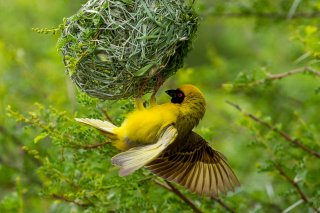 Southern Masked Weaver - Ploceus velatus