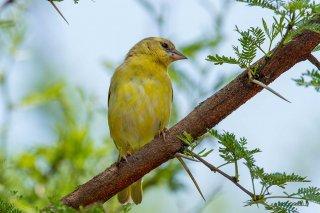 Southern Masked Weaver (f) - Ploceus velatus