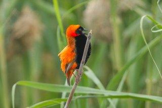 Southern Red Bishop - Euplectes orix